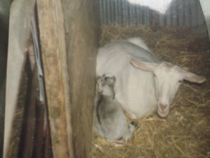 One of Mum's goats. Willow and her kid Saffron.